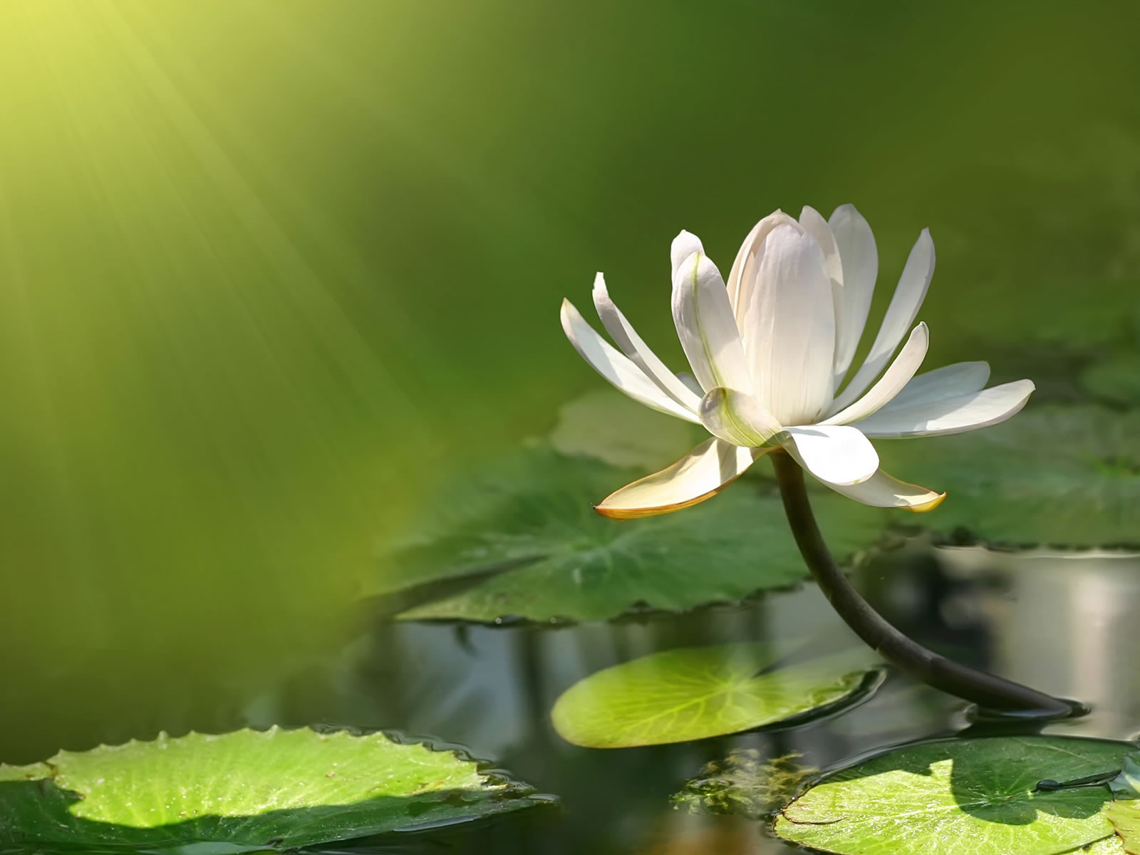 green-desktop-wallpaper-with-water-lily